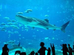 Whale Shark!